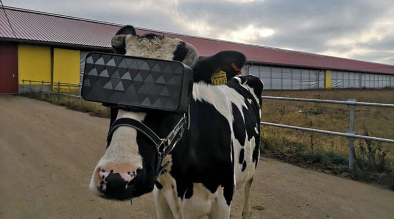 krowa w goglach Virtual Reality