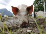 Huawei zabiera się za hodowlę świń