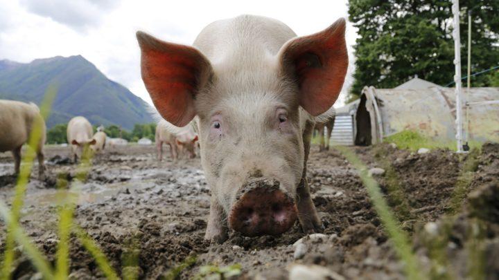 Huawei zabiera się zahodowlę świń wChinach