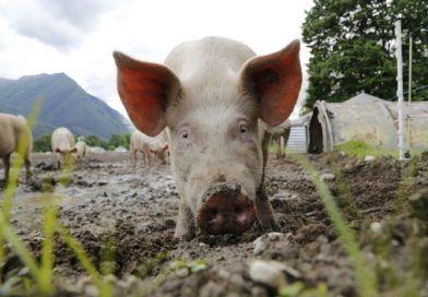 Huawei zabiera się zahodowlę świń