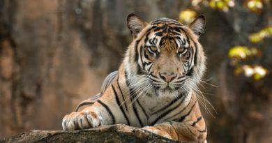 sztuczna inteligencja tygrys PAWS